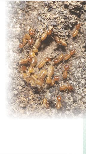 diagnostic termites rennes parasitaires parasites champignons merules diagnostiqueur insectes. Black Bedroom Furniture Sets. Home Design Ideas